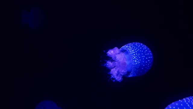 Blue glowing jellyfish moving in the dark blue water. video