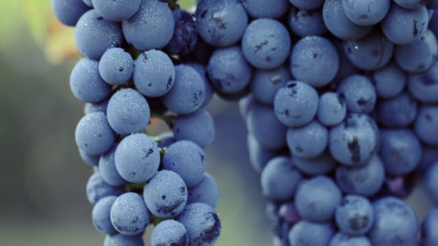 Blue grape with dew drops Close up of a blue grape with dew drops bunch stock videos & royalty-free footage