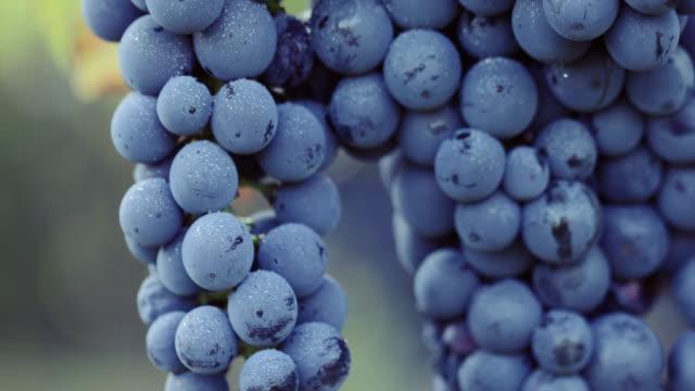 vídeos de stock e filmes b-roll de blue grape with dew drops - grapes
