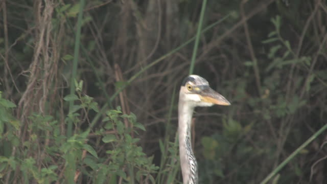 stockvideo's en b-roll-footage met blue heron in the woods 2 - hd 30f - minder dan 10 seconden