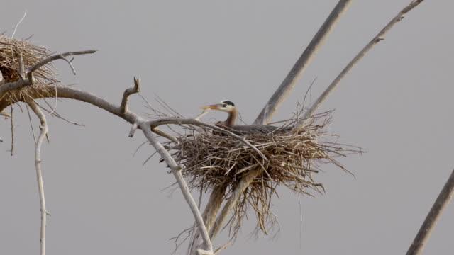 Blue Heron Nesting (HD) video