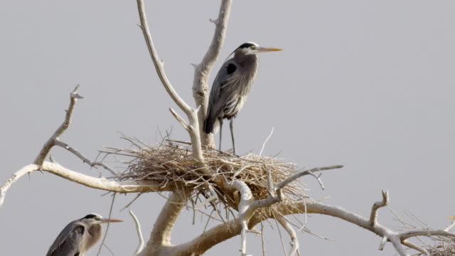 Blue Heron Nests Salton Sea (HD) video