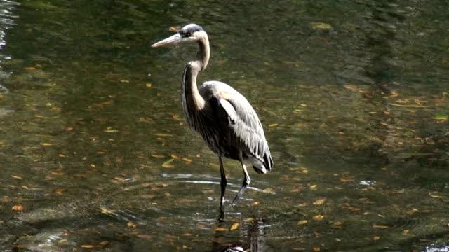airone azzurro in piedi nel fiume solleva la gamba - arto inferiore animale video stock e b–roll