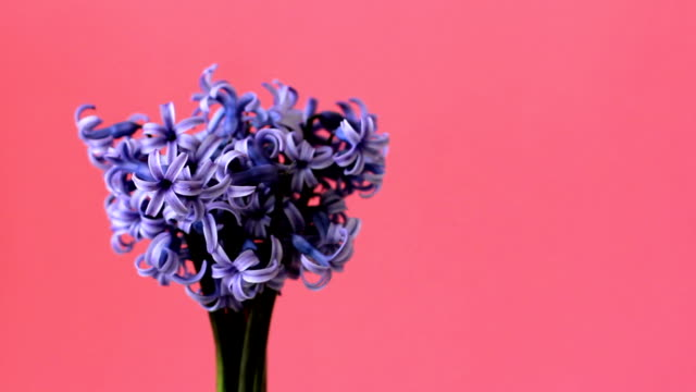 Blue hyacinths are turning on pink background with space for text