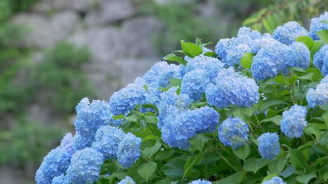 風に舞うブルーのアジサイ - 雨点の映像素材/bロール
