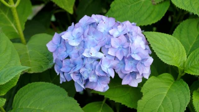 stockvideo's en b-roll-footage met blauwe hortensia bloem in de tuin - hortensia