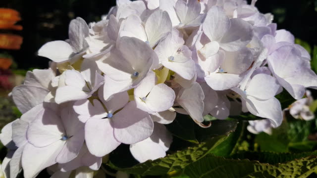 Blue Hydrangea (Hydrangea macrophylla) or Hortensia flower with dew in slight color variations ranging from blue to purple