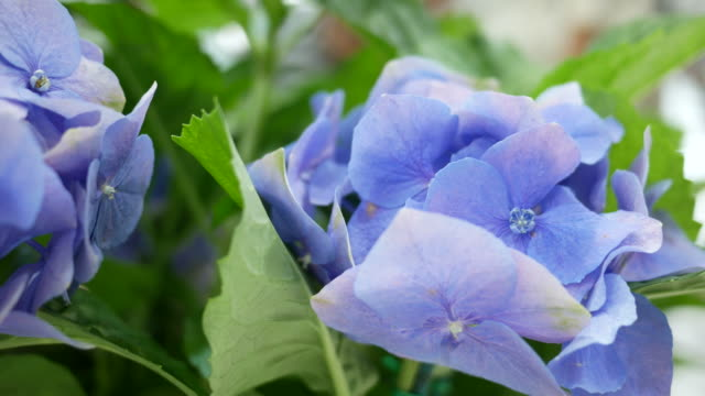 blue  Hydrangea , sign of  Thank you for understanding video