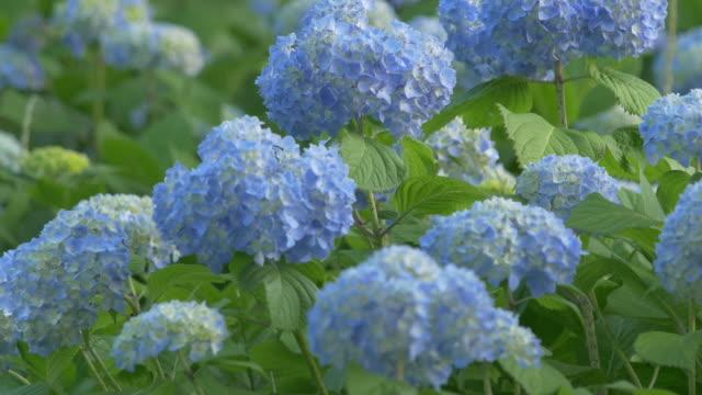 blaue hortensie, die sich im wind wiegen, nahaufnahme - hortensie stock-videos und b-roll-filmmaterial