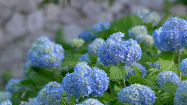 blaue hortensie wiegen sich im wind - hortensie stock-videos und b-roll-filmmaterial