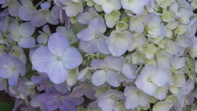 Blue Hydrangeas in soft spring wind.