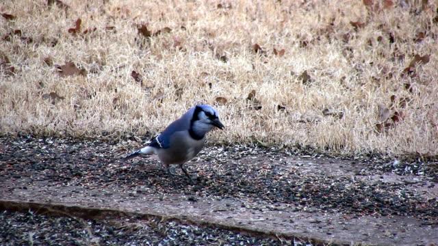 Blue Jay Bird Seed