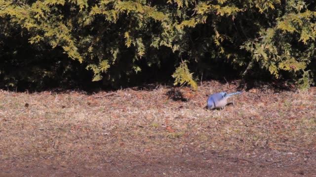 Blue Jay Footage
