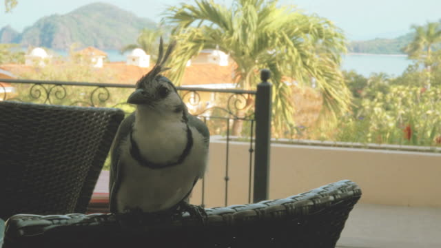 Blue Jay posing on a chair in a tropical resort
