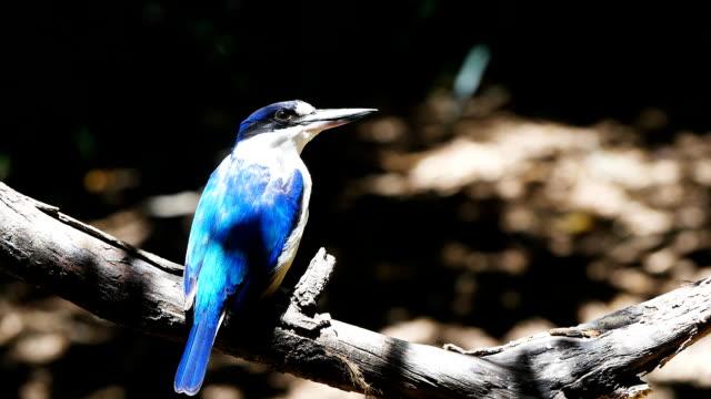 青いカワセミ - 水鳥点の映像素材/bロール