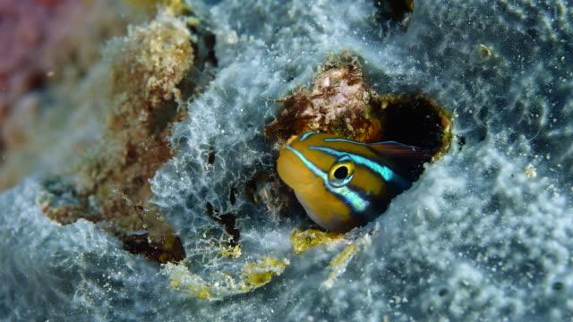 青い並んだセイバー歯ブレニー・プラジオトレムス・ライノリンチョスが家から覗き出す - 海洋生物点の映像素材/bロール