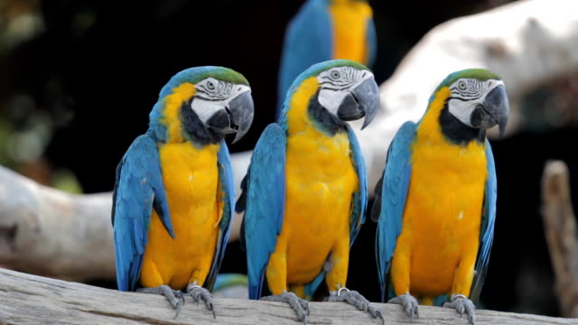 Blue macaw video