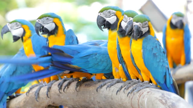 Blue macaw. video