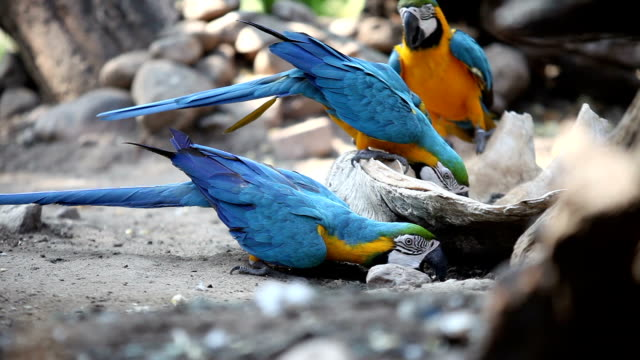 Blue Macaws video