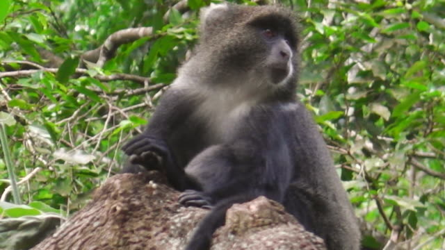 Blue Monkey in Arusha NP Blue Monkey or diademed monkey in Arusha National Park, Tanzania. Cercopithecus mitis is a species of Old World monkey. blue monkey stock videos & royalty-free footage