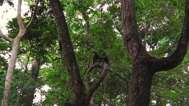 Blue Monkey in Arusha NP