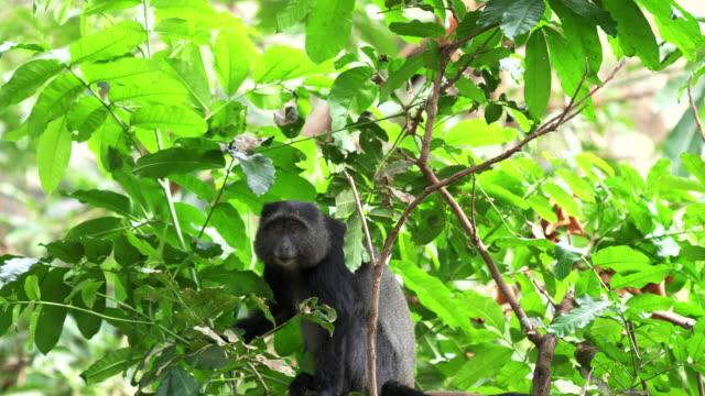 blue monkey looks at camera in lake manyara national park a blue monkey looks at camera at lake manyara national park in tanzania blue monkey stock videos & royalty-free footage