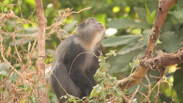 Blue Monkey a Blue Monkey feeds in a tree in Lake Manyara National Park, Tanzania blue monkey stock videos & royalty-free footage