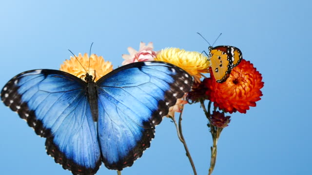 Blue morpho butterfly and yellow tiger butterfly on flowers