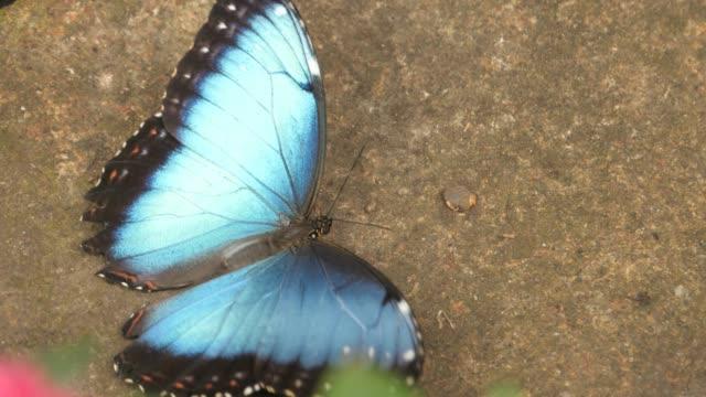 Blue morpho butterfly fluttering on ground video