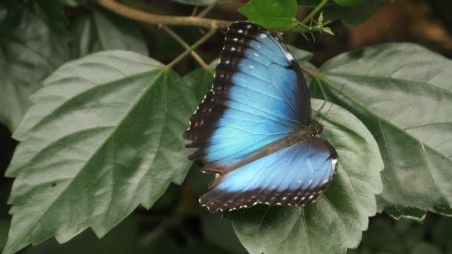 Blue morpho butterfly on leaf video