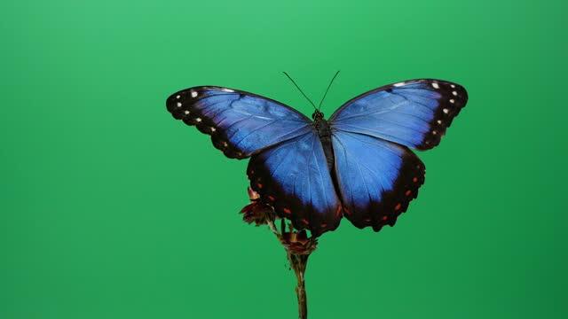 Blue morpho butterfly on red flower