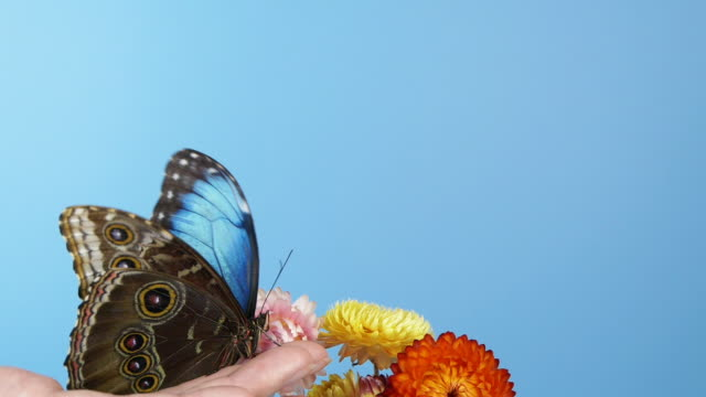 Blue morpho butterfly on woman's hand