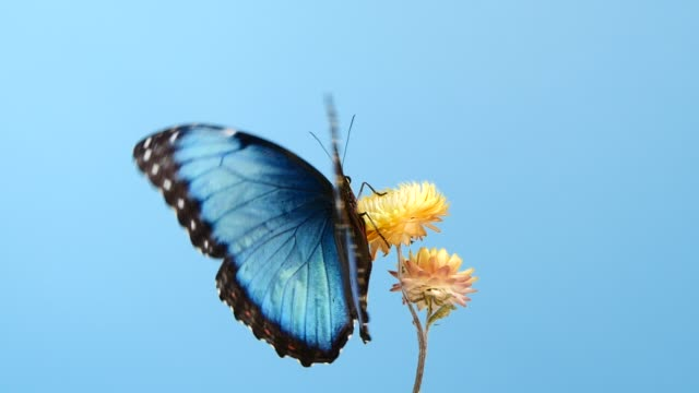 Blue morpho butterfly on yellow flower Slow motion of beautiful blue silk morpho butterfly opening wings on yellow flower on blue background animal wing stock videos & royalty-free footage