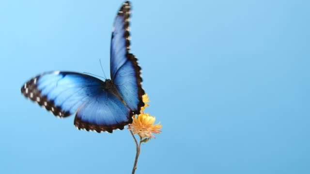 Blue morpho butterfly on yellow flower video