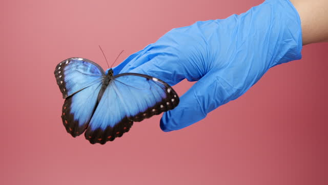 Blue morpho butterfly opening wings on hand in protective glove
