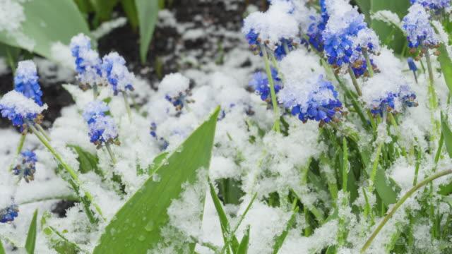 雪の下の青いマスカリの花 ビデオ