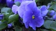 istock blue pansy garden outdoor 1312896782