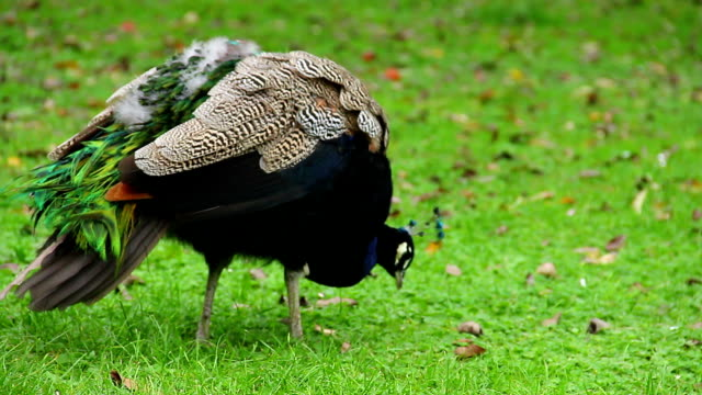 Blue peacock hunting insects on green grass, colorful bird. Beautiful shot of Europe, culture and landscapes. Traveling sightseeing, tourist views landmarks of Czech Republic. World travel, west European trip cityscape, outdoor shot video