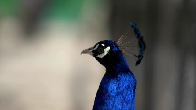 blue peacock quickly moves his head - peacock стоковые видео и кадры b-roll
