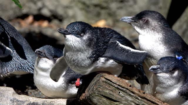 blue penguins - pingwin filmów i materiałów b-roll