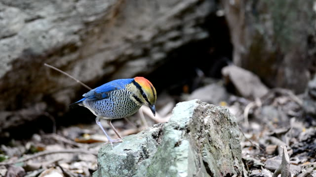 Blue Pitta bird video