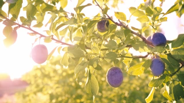 Blue plums on the tree. Sunlight through the leaves. Vitamins. Blue plums on the tree. Sunlight through the leaves. Vitamins. Organic Food, Fruit. Harvesting. Diet plum stock videos & royalty-free footage