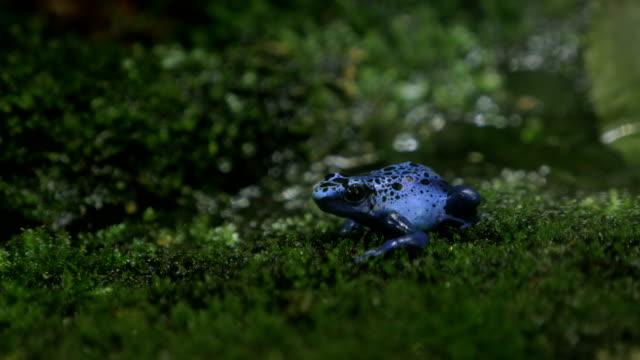 blauer vergiften pfeil frosch - giftstoff stock-videos und b-roll-filmmaterial