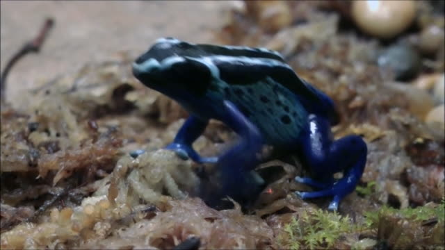Blue poison dart frog  frog stock videos & royalty-free footage