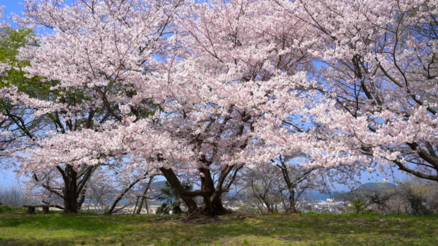 青空と桜の素材 - 桜点の映像素材/bロール