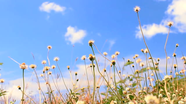 Blue sky flowers Yellow grass strip Blue sky background video