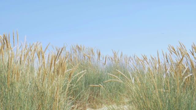 blauer himmel, marram gras weht im wind. - schilf stock-videos und b-roll-filmmaterial