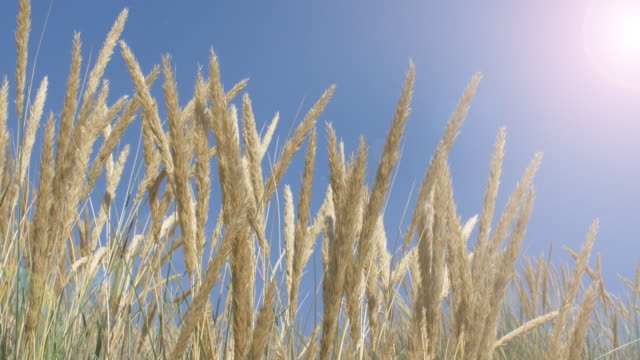 Blue sky, sunshine and long grass. DS.