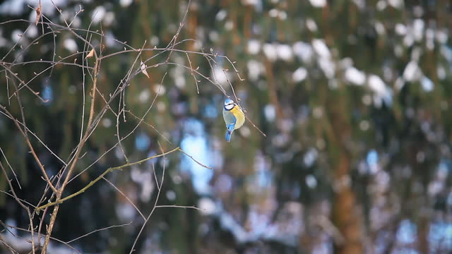 blue tit jumping on thin branches