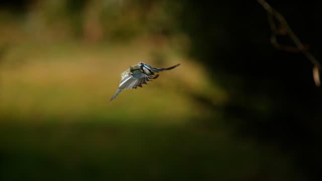 blue tit, parus caeruleus, adult in flight, normandy, slow motion 4k - getty filmów i materiałów b-roll